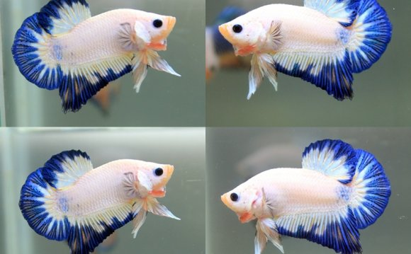 Half Moon plakat Betta