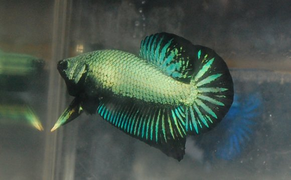 Female Betta fish behavior
