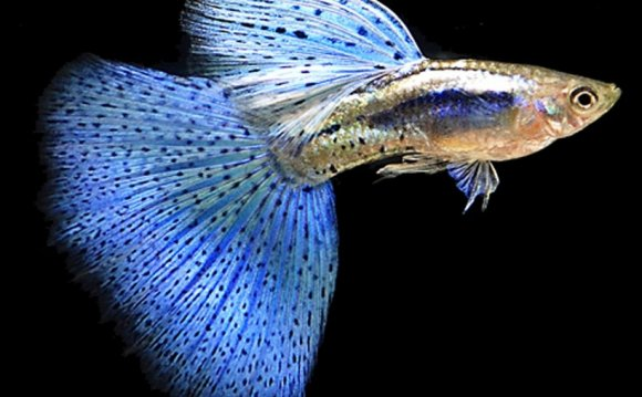 Male Betta fish behavior