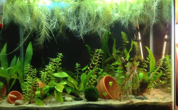 Wild Betta fish habitat