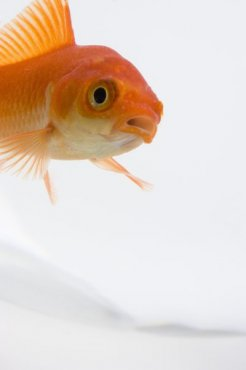 A goldfish has a primitive digestive system requiring a special diet.