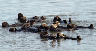A group of a dozen furry brown sea otters float on their backs in calm water.