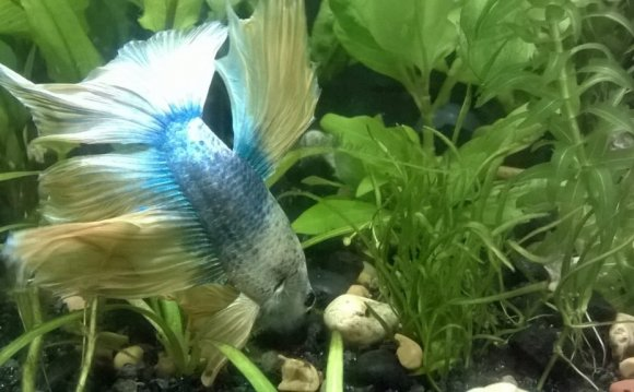 Everything to know about Betta fish