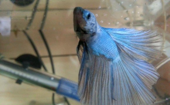 What temperature for Betta fish?