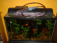 Aquarium with syphon hose on it
