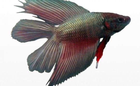 Male Betta fish life span