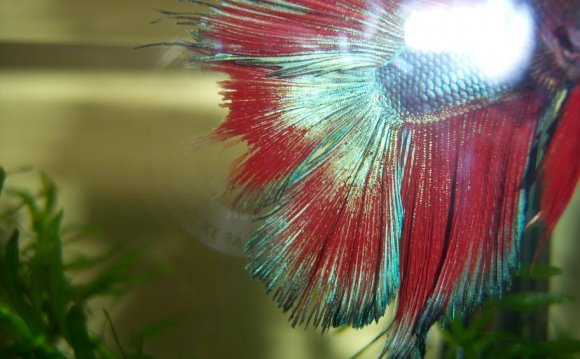 Betta fish bloated