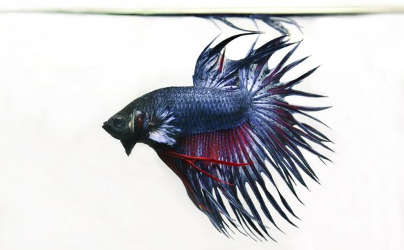 Fighting fish care Sheet
