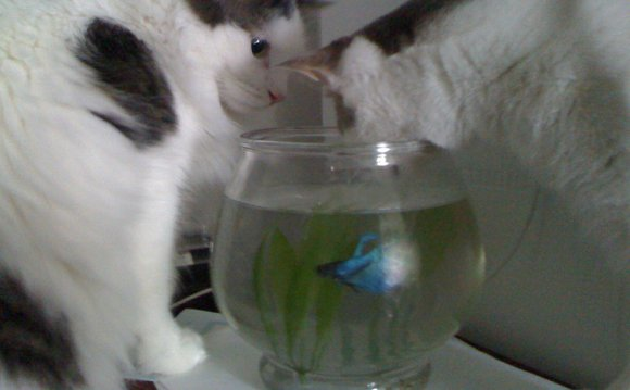 Can you eat Betta fish?
