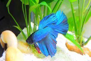 betta-fish-care-1