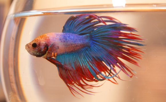 Betta fish Diseases with Pictures