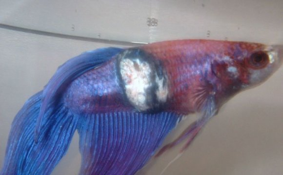 Betta fish Diseases and Cures