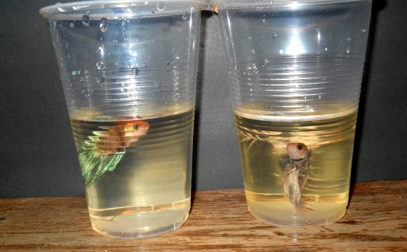 Can Betta fish live together?