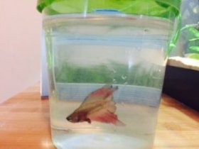 Consistently bad water values inside a small pet store cup caused this betta to develop severe fin rot as well as blood poisoning. Luckily, he was rescued in time by Tumblr user theblondeaquarist.