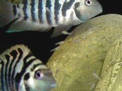 Convict Cichlid pair with their babies.