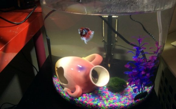 Halfmoon Betta care