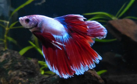 Half Moon double tail Betta