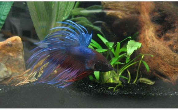 Types of Siamese fighting fish
