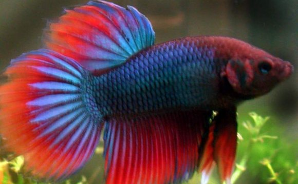Pet names for Fighter fish