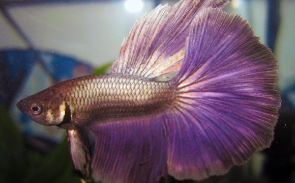 Breeding Half Moon Betta