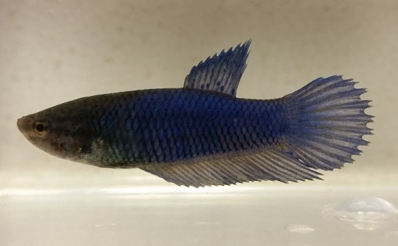 Half Moon female Betta