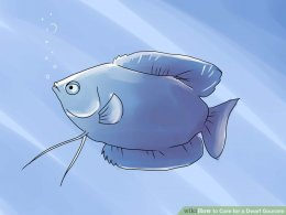 Image titled Care for a Dwarf Gourami Step 1
