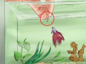 Image titled Grow a Bond With Your Betta Fish Step 4