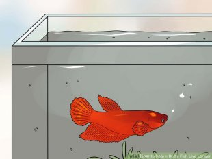 Image titled Help a Betta Fish Live Longer Step 4
