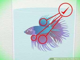 Image titled Tell How Old a Betta Fish Is Step 2