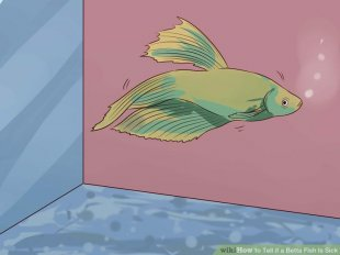 Image titled Tell if a Betta Fish Is Sick Step 7