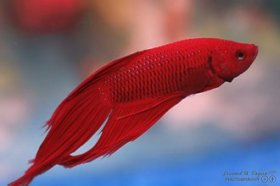 Lovely siamese fighting fish