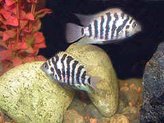 Male and Female Convict Cichlids with their young baby fish fry.