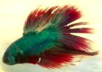 Male Blue and Red Half Moon Betta displaying.