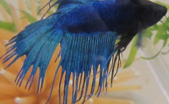 Crown Betta fish care