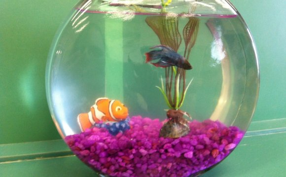 Siamese fighting fish in bowl