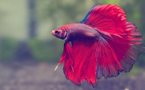 Japanese fighting fish care