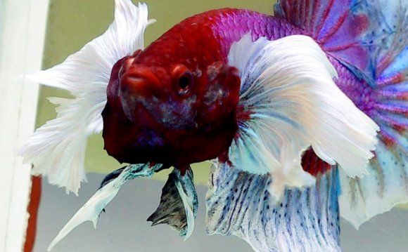 Betta breeding Tips
