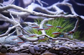 Neon tetras in clear water freshwater aquarium