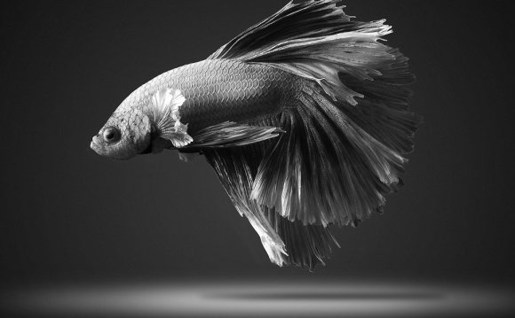 Pictures of Japanese fighting fish