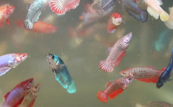Baby Crowntail Betta fish