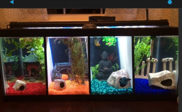 Dual Betta fish Tanks