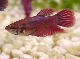 Siamese Fighting Fish females are not as spectacular as the males