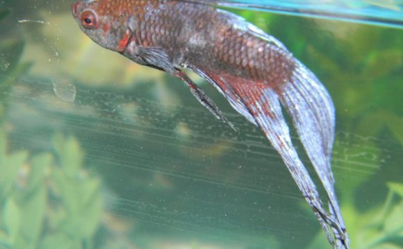 Pictures of Sick Betta fish