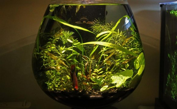 Betta fish and bamboo plants