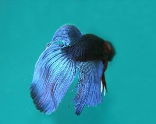 The betta comes in a variety of brilliant patterns, colors and fin shapes.