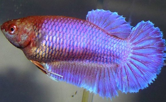 Betta breeding color Chart