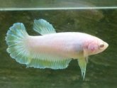 Albino Betta fish