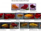Betta fish color Chart