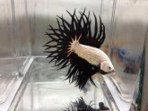 Betta fish Crowntail Male