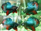 Betta fish life stages